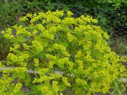 Euphorbia ceratocarpa - monksilvernursery.co.uk