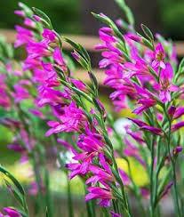 Gladiolus byzantinus - Burpee