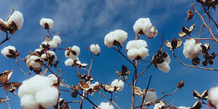 The <b>Best Cotton</b> in the World | PimaCott