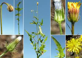 Crepis foetida L. subsp. foetida - Portale sulla flora del basso corso ...