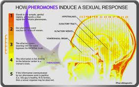 KESAN JATUH CINTA, feromon, hormon feromon, kaitan dengan cinta