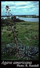 Agave americana L.: FloraBase: Flora of Western Australia