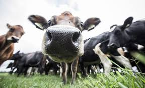 Image result for vacas voadoras