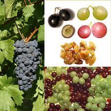 Resultado de imagen para la uva y sus partes