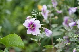 Lavatera maritima - gardenersworld.com