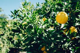lemon tree x: free download tree lemon fruit free download