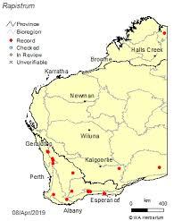 Rapistrum Crantz: FloraBase: Flora of Western Australia
