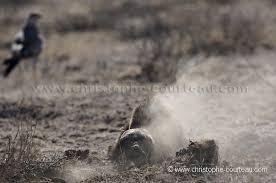 Ratel ou Texugo do Mel (Mellivora capensis) Images?q=tbn:ANd9GcRCVA4jmdpFsty9eaKJZ0udzRXXNLny-5YniDJheCzpQ3xmo58W