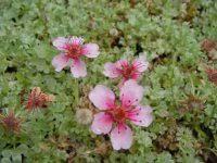 Alpines - Evergreen Alpines - Potentilla nitida Rubra