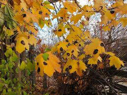 Are your <b>maple leaves</b> dotted with black spots? They're called 'tar ...