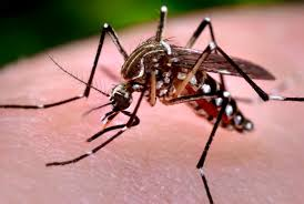 Image result for three mosquito-borne diseases - malaria, dengue and chikungunya