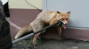 <b>Голодная лиса</b> проникла в дом жителя Ставрополья - ГТРК ...