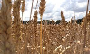 Αποτέλεσμα εικόνας για σιτάρι χωραφι φωτο