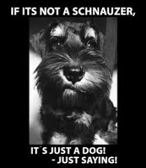 Miniature Schnauzers on Pinterest | Miniature Schnauzer ... via Relatably.com