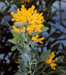Cytisus aeolicus - Wikipedia