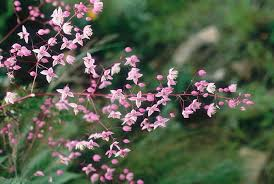 Thalictrum in Flora of China @ efloras.org