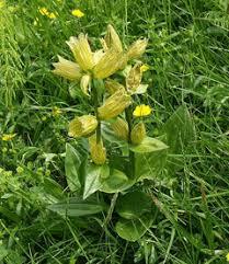 Gentiana punctata Spotted Gentian PFAF Plant Database