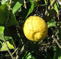Ranunculus chius (Eastern Buttercup) : MaltaWildPlants.com - the ...