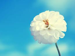 Image result for bunga putih