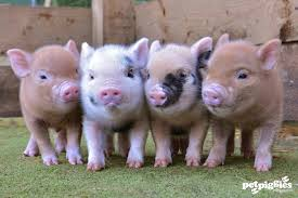 Image result for beautiful pigs