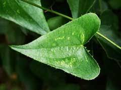 Smilax aspera Sarsaparilla, Rough bindweed PFAF Plant Database