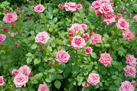 「薔薇」の画像検索結果