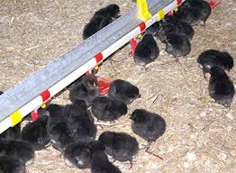 Image result for black chickens