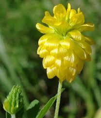 Trifolium aureum - Wikipedia