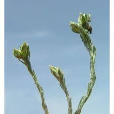 Genere Oglifa - Flora Italiana