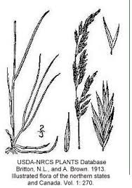 Festuca rubra - Online Virtual Flora of Wisconsin