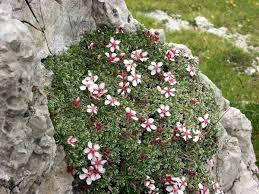 Dolomiten-Fingerkraut – Wikipedia