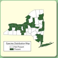 Buglossoides arvensis - Species Page - NYFA: New York Flora Atlas