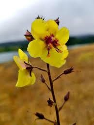 Verbascum blattaria Calflora