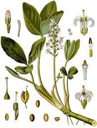 Menyanthaceae - Wikipedia