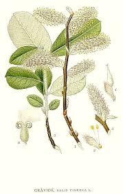 Salix cinerea - Wikipedia