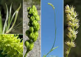 Tofieldia calyculata (L.) Wahlenb. - Sistema informativo sulla flora ...
