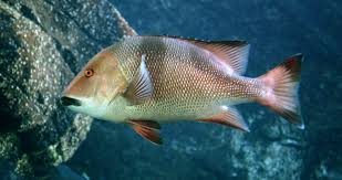 Common snappers