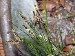 Carex austroalpina Bech. - Sistema informativo sulla flora delle Alpi ...