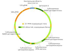 Некоторые ДНК не кодирует белки