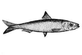 Image result for sardine