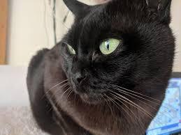 <b>Burmese</b> cat - Wikipedia
