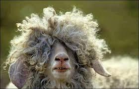 """Résultat de recherche d'images pour """"mouton nus et sans laine"""""""