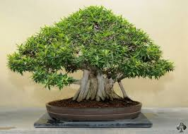 ficus fig bonsai tree bonsai tree