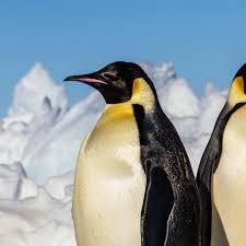<b>Emperor</b> Penguin   National Geographic