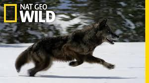 Hunting With the Dark <b>Wolf</b> | Wild Yellowstone - YouTube