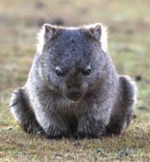 Image result for wombat