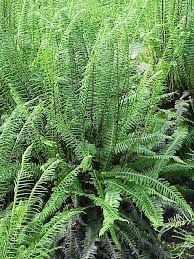 Blechnoideae - Wikipedia