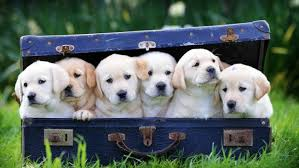 Image result for guide dog victoria