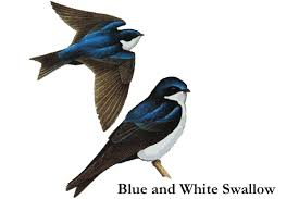 Image result for swallow
