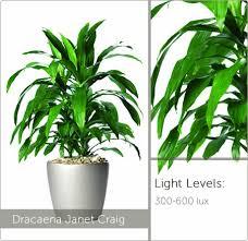 low light plants dracaena janet craig best office plants no sunlight